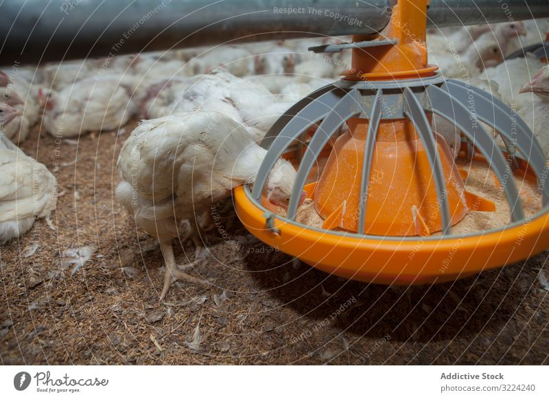 Hungry hens feeding from bird feeder on farm chicken eat hungry livestock white seed industry feed box poultry food organic animal group fowl rural feather real
