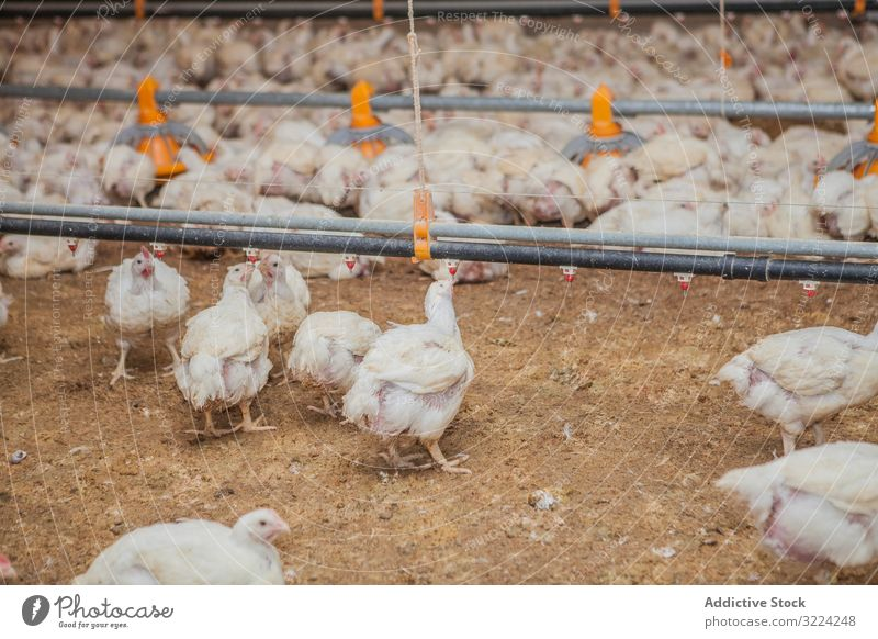 Poultry at chicken farm poultry hen feeding walk spacious house lighted industry bird agriculture farming food livestock nature meat animal nutrition rural