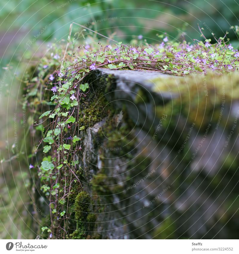 rise above the wall Environment Nature Plant Moss Foliage plant Wild plant Ivy Creeper Wall plant Scotland Great Britain Northern Europe Fence Wall (barrier)