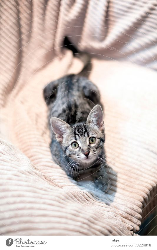 Savannah kittens Pet Animal face purebred cat savannah 1 Baby animal Blanket Looking Curiosity Cute Brown Gray Colour photo Subdued colour Interior shot