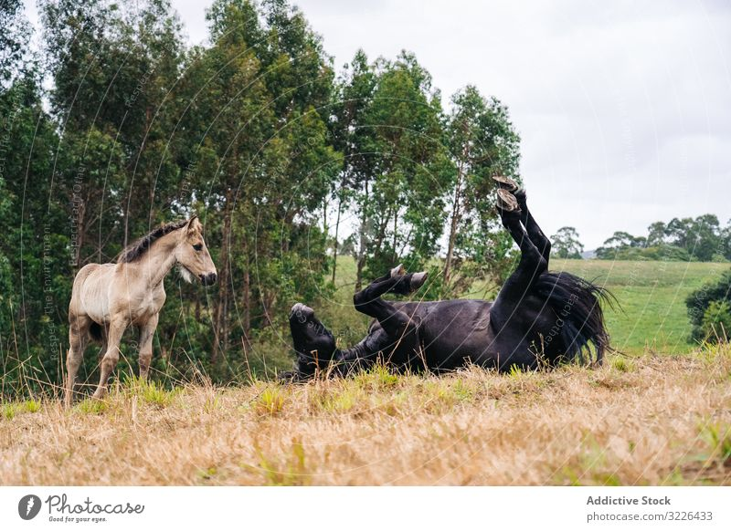 Black horse with foal grazing on lawn nature animal field farm grass summer brown pasture baby stallion rural equine equestrian group mother mammal herd eat