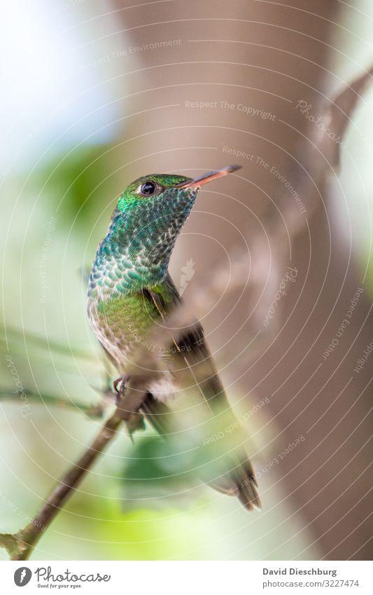 hummingbird Brazil Bird Exotic feathers Glittering variegated Beak Small Diminutive South America red list Animal Wild animal Forest Virgin forest Green Blue