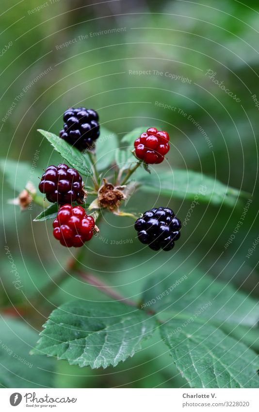 blackberries Environment Nature Plant Summer Bushes Agricultural crop Wild plant Fruit Seed head Berries Berry seed head Blackberry Fruity Forest Illuminate