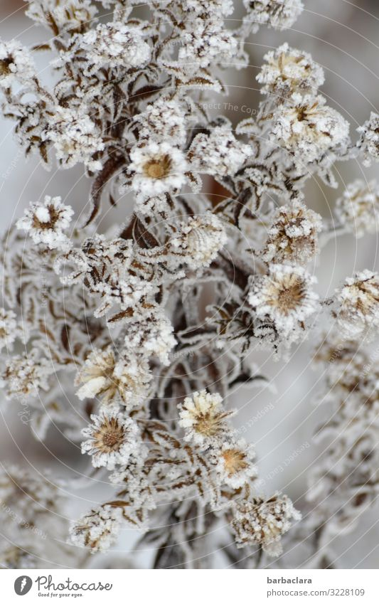 Ice Princess Aster Plant Winter Frost Snow Flower Bushes Leaf Blossom Garden Blossoming Esthetic Cold Beautiful Wild Gray Silver White Moody Romance Climate