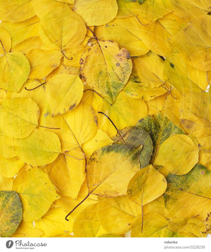 many yellowed dry apricot leaves, full frame Garden Environment Nature Plant Autumn Tree Leaf Fresh Bright Natural Yellow Gold Green Colour Apricot backdrop