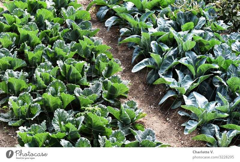 green stuff Food Vegetable Lettuce Salad Nutrition Organic produce Vegetarian diet Environment Nature Plant Summer Agricultural crop Field Illuminate Growth