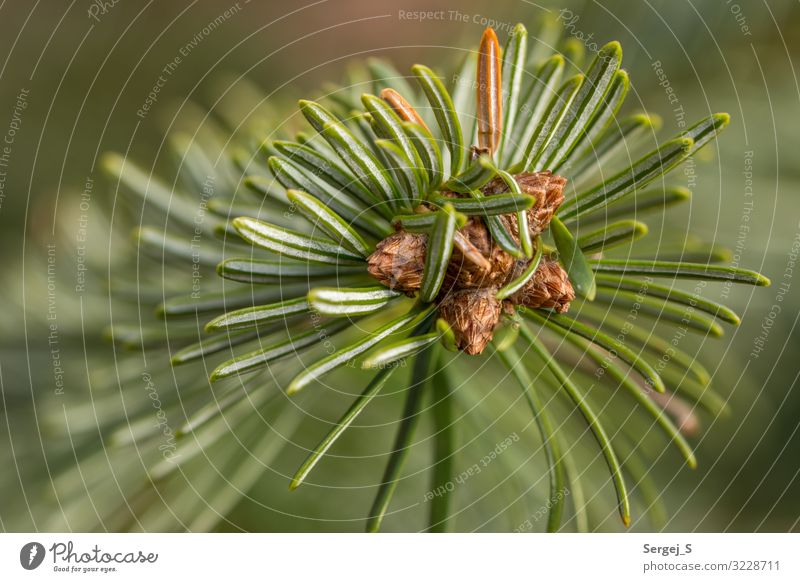 green needles Nature Plant Tree Fir tree Fragrance Point Thorny Green Colour photo Exterior shot Close-up Macro (Extreme close-up) Deserted Copy Space left