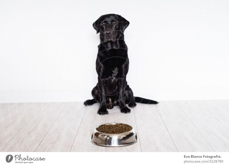 Black Labrador At Home Ready To Eat His