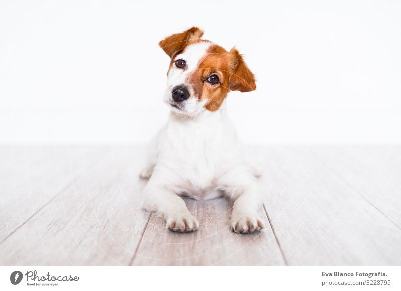 cute jack russell dog lying on the floor at home Cute Jack Russell terrier Dog Pet Home Portrait photograph House (Residential Structure) Looking intelligent