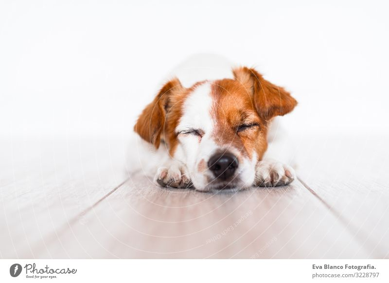 cute jack russell dog sleeping on the floor at home Cute Jack Russell terrier Dog Pet Home Portrait photograph House (Residential Structure) Looking intelligent