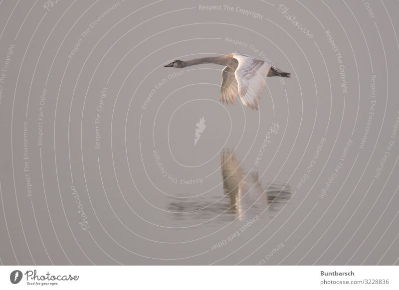 low-altitude flight Environment Nature Animal Water Winter Lake Wild animal Bird Swan Wing Feather 1 Flying Esthetic Wet Brown Gray White Moody Glide Hover