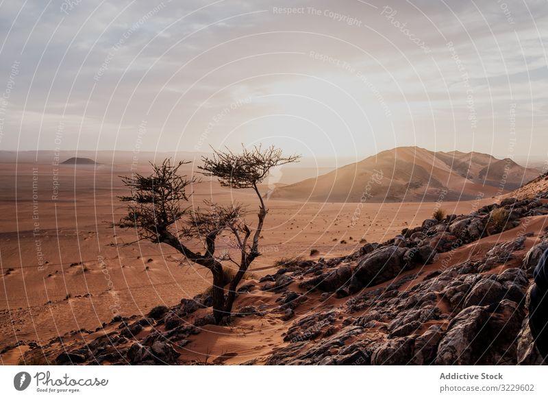 Lonely tree in arid desert hill sunset sand sky cloudy rock morocco africa nobody landscape nature dune stone boulder sundown dry terrain picturesque