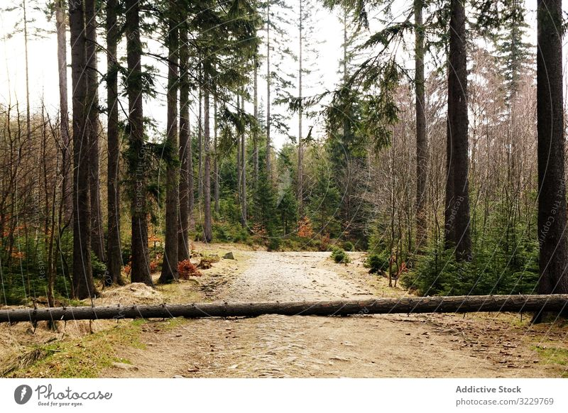 Fallen tree on ground in forest birch fallen landscape nature southern poland log autumn bare naked withered leaves dry trunk woods timber scenery branch