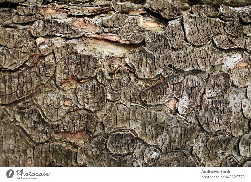 Old tree trunk with ragged bark wood texture cracked old southern poland forest natural log timber plant growth rough brown lumber flaked nature material