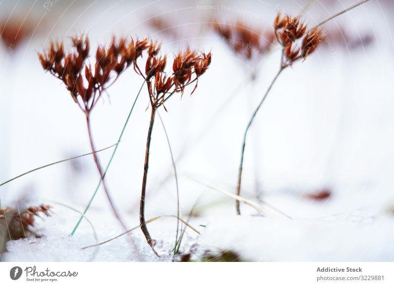 Orange flowers on meadow in winter plant snow field calm frozen vivid thin orange landscape silent nature season growth cold environment ice forest park weather