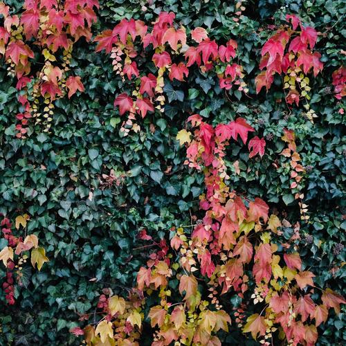 contrasts | red - green house wall Ivy Creeper Overgrown Red Autumn leaves autumn colours Tendril Growth Facade Wall (building) bushes Vine leaves