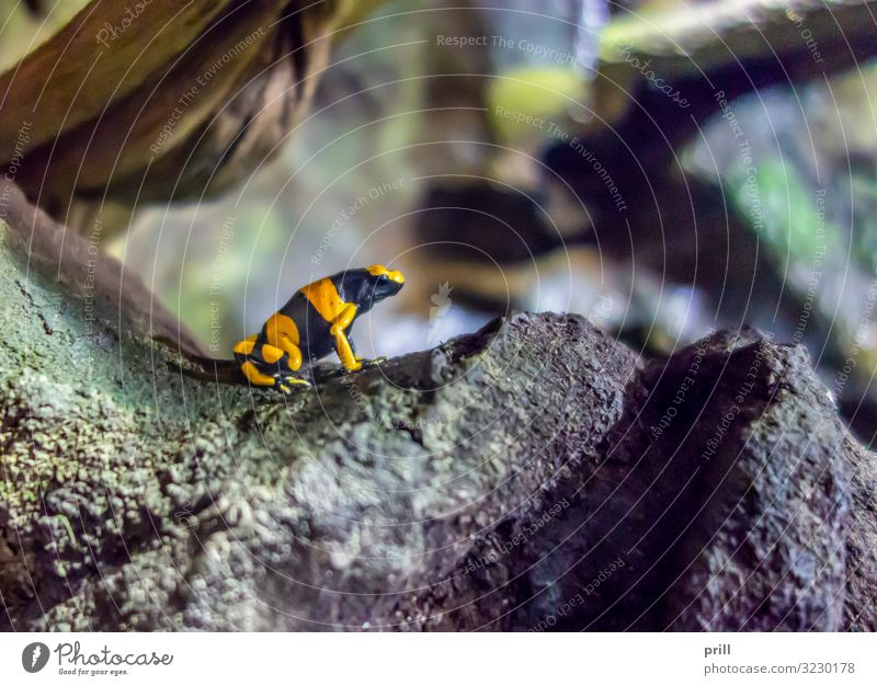 Yellow-banded poison dart frog Nature Animal Virgin forest Rock Frog Stone Black yellow banded woodcreeper colourful poison frog Poison dart frog