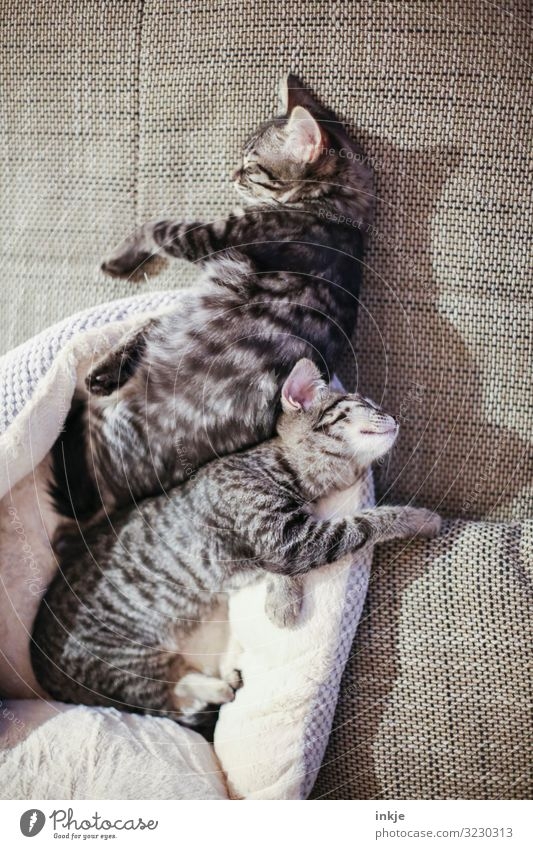 Together you're less alone Sofa Pet Cat 2 Animal Pair of animals Baby animal To enjoy Sleep Cuddly Small Cute Warmth Soft Brown Emotions Contentment