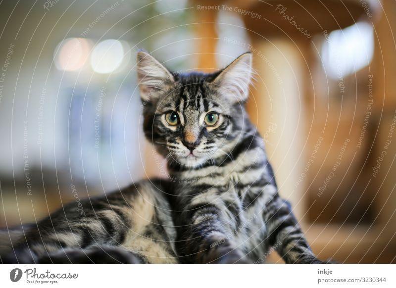 Cat Animal Baby animal Living or residing Pet Animal face Willpower Headstrong Gaze