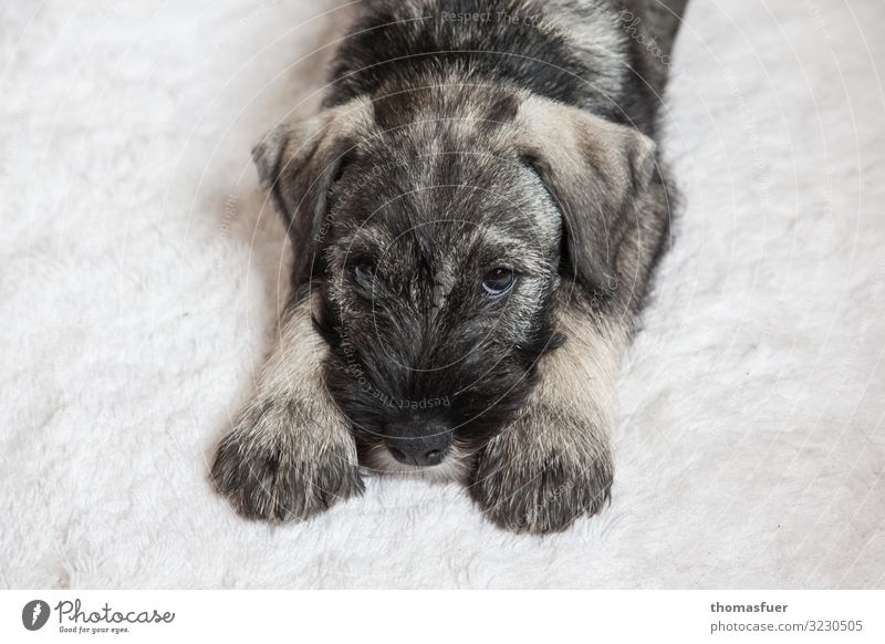 Dog puppy, young dog on Flockati Carpet Animal Pet Animal face Paw 1 Baby animal Lie Wait Friendliness Beautiful Cuddly Small Cute Contentment Relationship