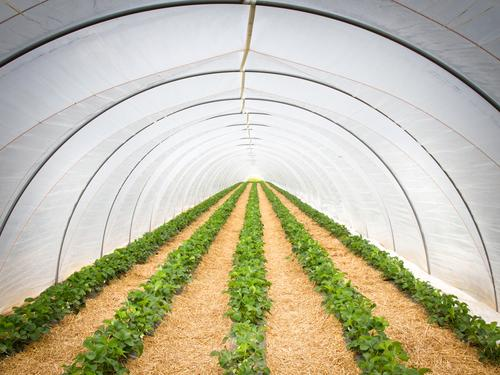 strawberry tunnel Fruit Strawberry Nutrition Workplace Agriculture Forestry Market garden Spring Summer Climate change Plant foil tunnel Greenhouse Growth