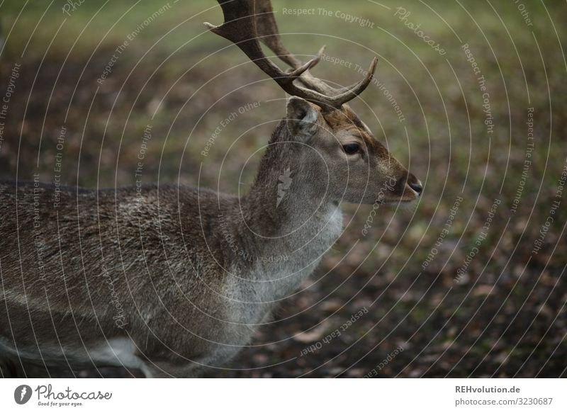 Roebuck in autumn deer Wild Wild animal Animal Exterior shot Nature Colour photo Environment Deserted naturally Animal portrait Shallow depth of field