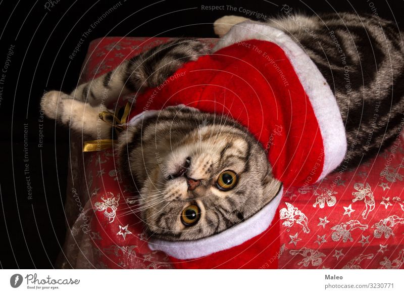 Cat in a Christmas cap Enchanting Animal Beautiful Carnivore Domestic cat Christmas & Advent claus Cute Decoration Cat eyes Gray Hair Happy Hat Kitten