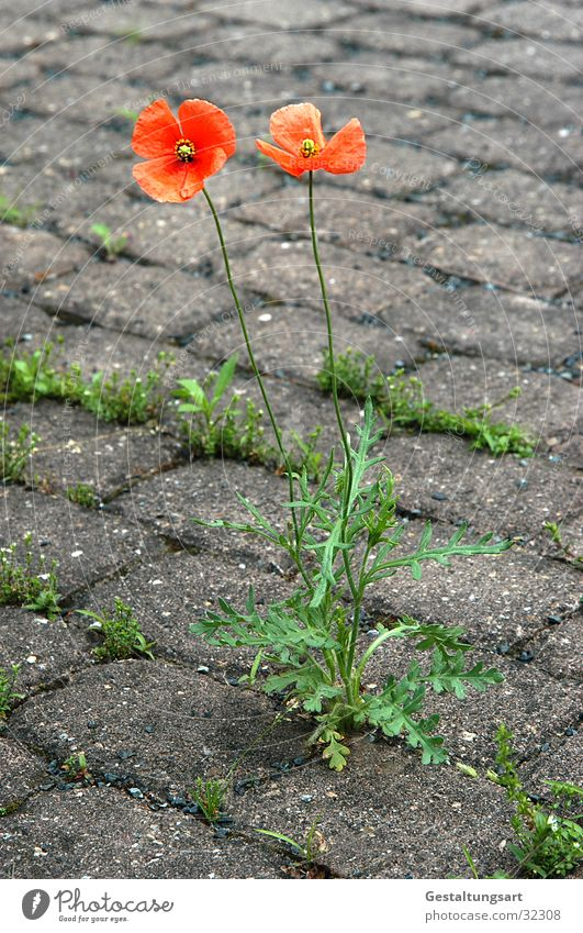 Flower Green Gray Stone Power Orange Floor covering Poppy