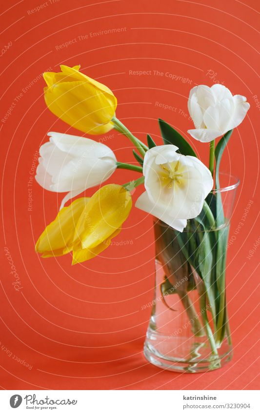 Yellow and white Tulips on a red background Beautiful Mother's Day Easter Birthday Adults Spring Flower Blossom Bouquet Love Bright Hip & trendy Red White vae