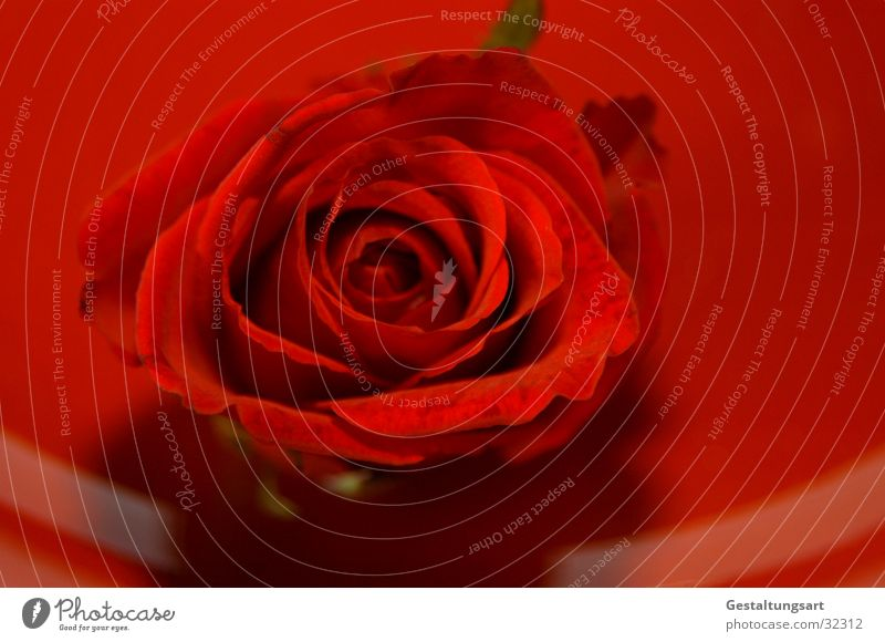 Red Rose Plate Flower Blossom Beautiful Plant Near Leaf Jewellery Macro (Extreme close-up) Noble Valentine's Day