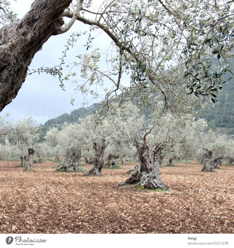 Olive grove with ancient gnarled olive trees in Mallorca Environment Nature Landscape Plant Earth Spring Tree Agricultural crop Olive tree Mountain Island