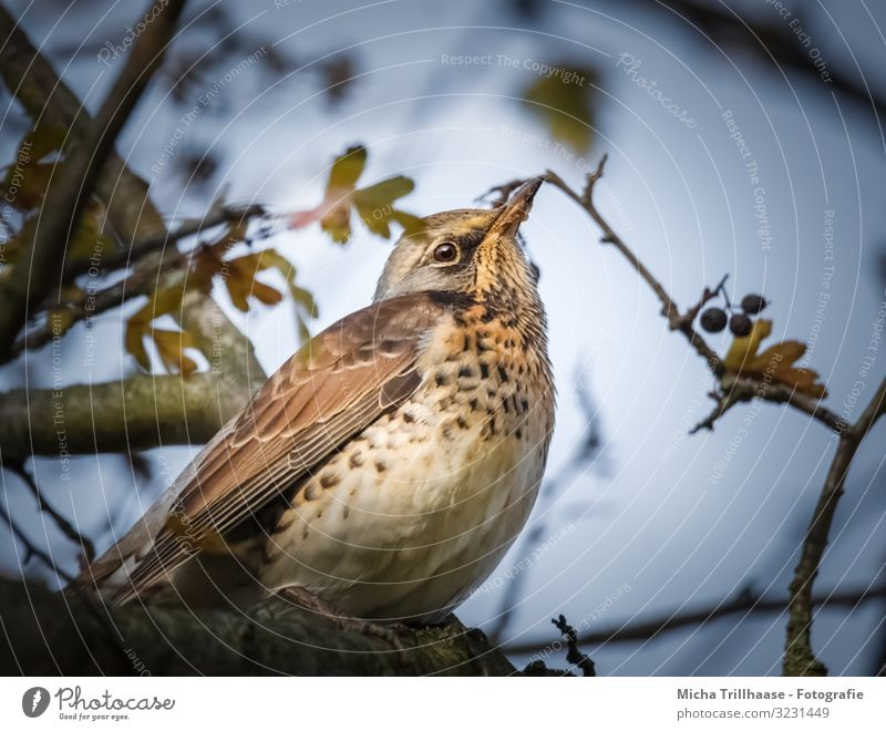 Thrush in tree Nature Animal Sky Sunlight Beautiful weather Plant Tree Twigs and branches Wild animal Bird Animal face Wing Claw Turdus Pilaris Throstle Head