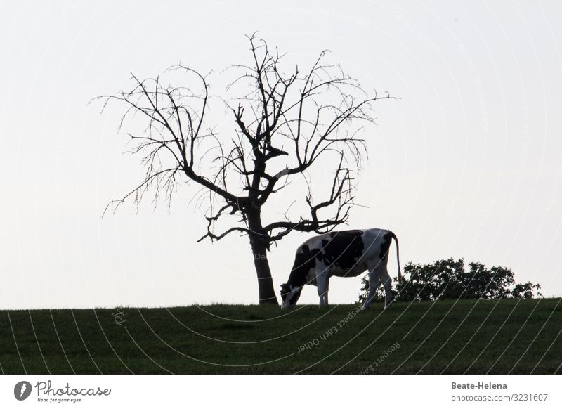 Bald tree with cow Nature Landscape Earth Cloudless sky Beautiful weather Plant Tree Grass Field Hill Farm animal Cow Old Feeding Looking Stand To dry up Growth