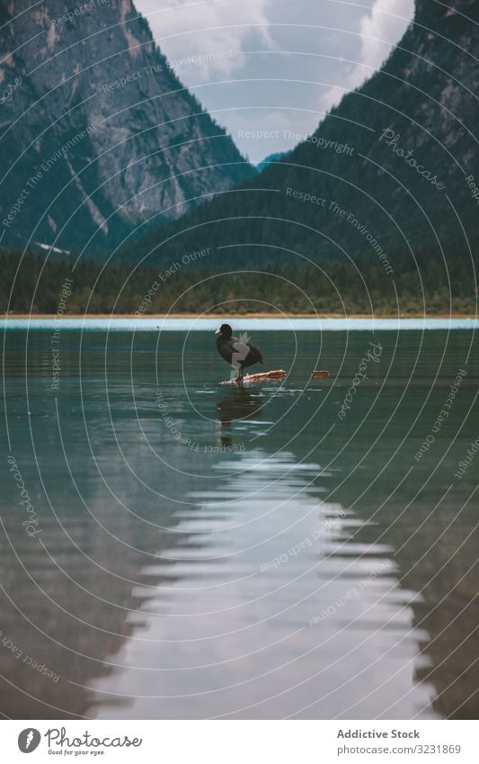 Black duck on lake in mountains bird valley dolomites water feathered black braies lone italy hill tyrol pond europe wildlife forest snag alps alpine solitude
