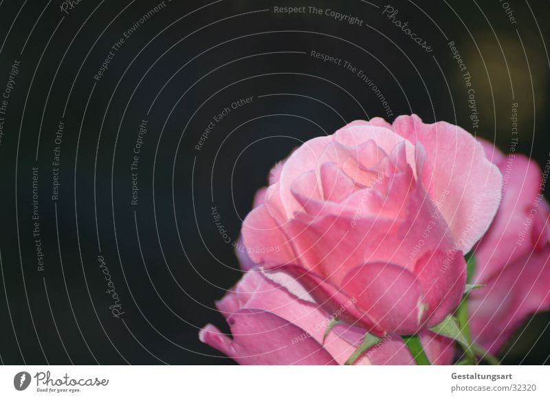 Pink Rose I Magenta Flower Blossom Beautiful Plant Near Leaf Macro (Extreme close-up)