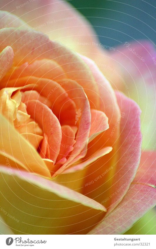 Smell this. Rose Yellow Pink Flower Blossom Blossom leave Beautiful Plant Near Leaf Jewellery Macro (Extreme close-up) Close-up Summer Orange Blue Fragrance