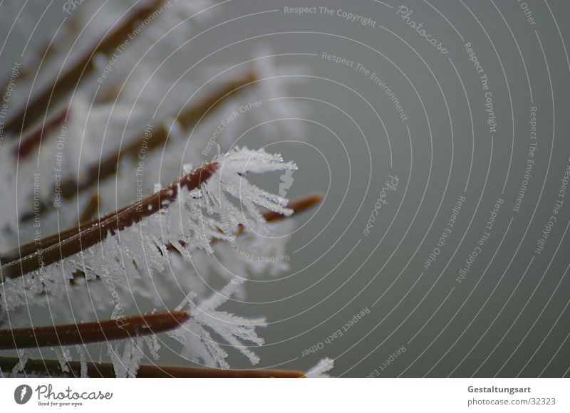 Frost Flower III Winter Coniferous trees Frostwork White Snow Ice Crystal structure Branch Fir needle