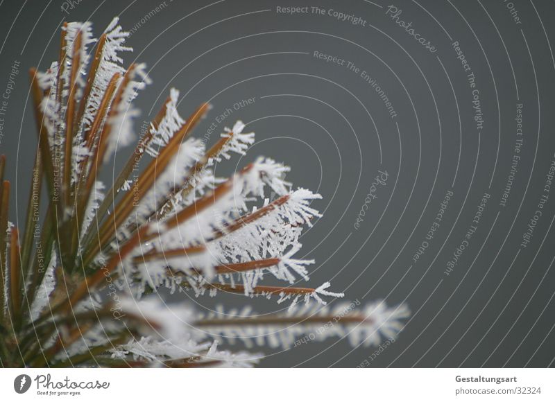 Frost Flower II Winter Coniferous trees Frostwork White Snow Ice Crystal structure Branch Fir needle
