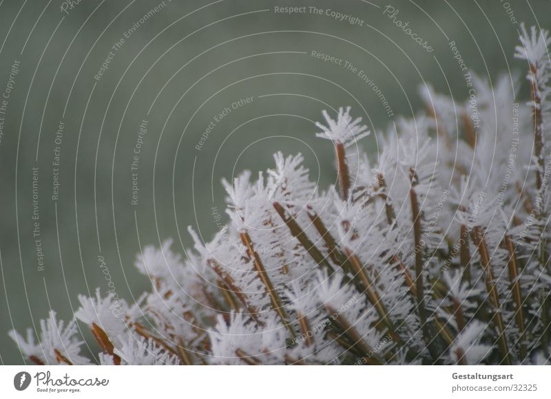 Frost Flower I Winter Coniferous trees Frostwork White Snow Ice Crystal structure Branch Fir needle