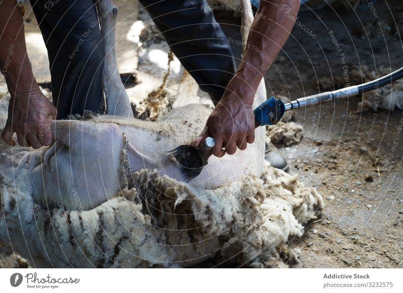 Crop man shearing sheep in barn farm wool worker countryside animal tool remove domestic job ground shed agriculture professional fleece shepherd rural lamb