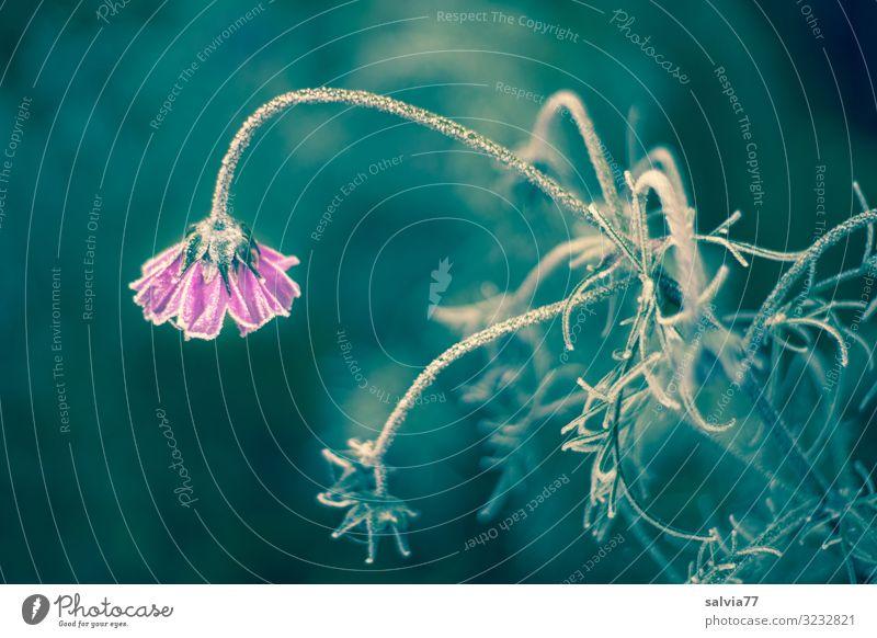 Nature Plant Flower Winter Autumn Environment Blossom Cold Garden Ice Blossoming Transience Cool (slang) Tilt Frost Frozen