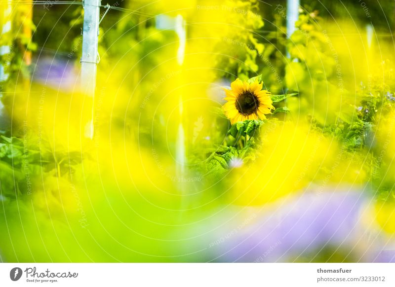 Sunflower with yellow blurred foreground Trip Summer Environment Nature Landscape Sunlight Climate Beautiful weather Warmth Plant Flower Bushes