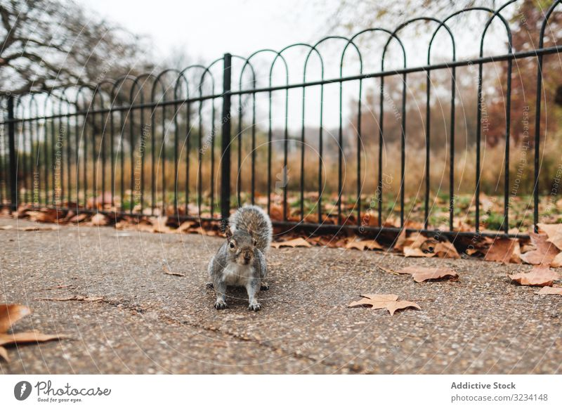 Squirrel on autumn leaves in park squirrel leaf grass animal nature london calm lawn fall season wildlife mammal rodent fluffy furry adorable cute great britain