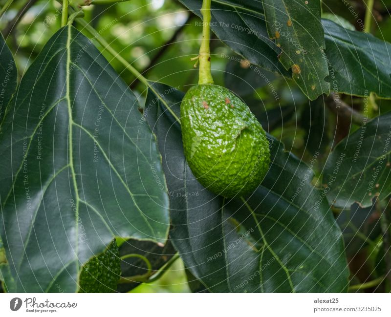 Avocado in the branch Vegetable Fruit Nutrition Vegetarian diet Diet Garden Plant Tree Leaf Growth Fresh Natural Green agriculture avocado branches Farm food