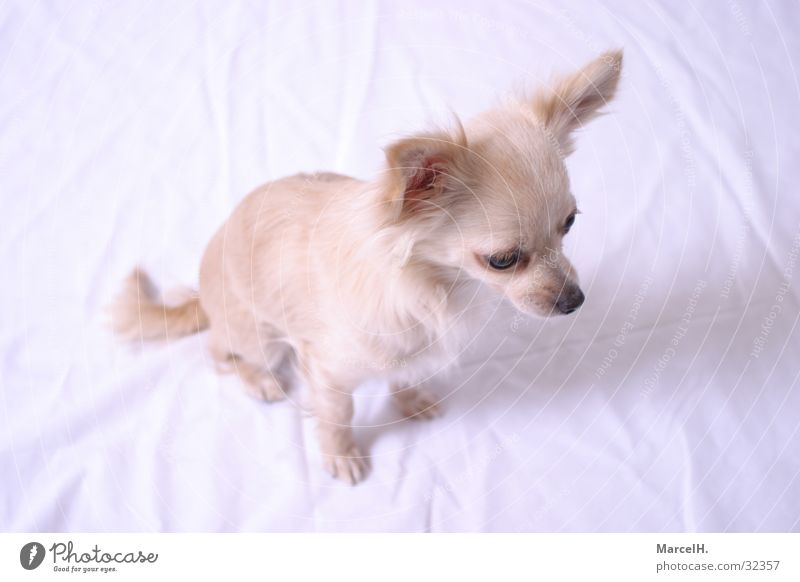 Loneliness Dog Small Search Sweet Cute Puppy Chihuahua Desert