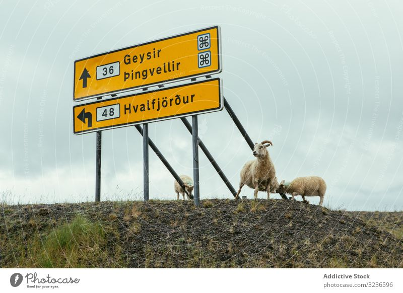 White sheep standing by sign on side of road cattle guidepost billboard panel rustic note signboard signal wooden message nature iceland warning banner village