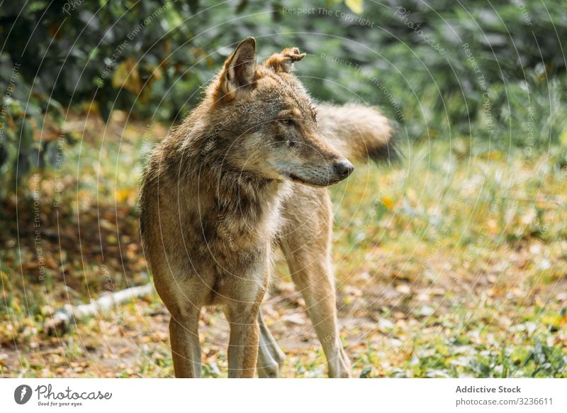 Wild wolf looking away in nature wild hunt muzzle animal grass sit canine wildlife mammal carnivore green countryside nobody creature fur species habitat fauna
