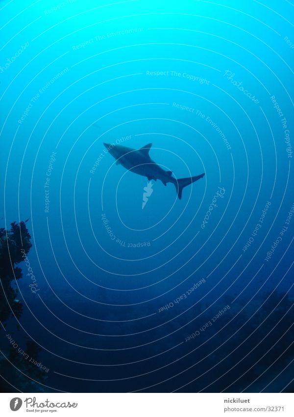 Ocean Blue Fish Maldives Shark