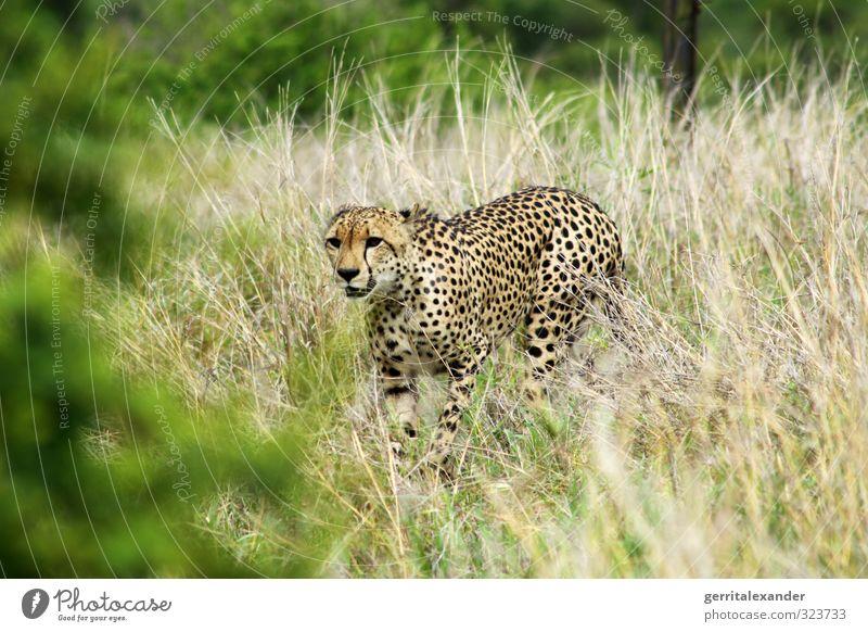 Cheetah in Africa / Africa - Kruger Kruger National Park Safari Grass Animal Wild animal 1 Walking Elegant Yellow Green Colour photo Exterior shot Deserted Day