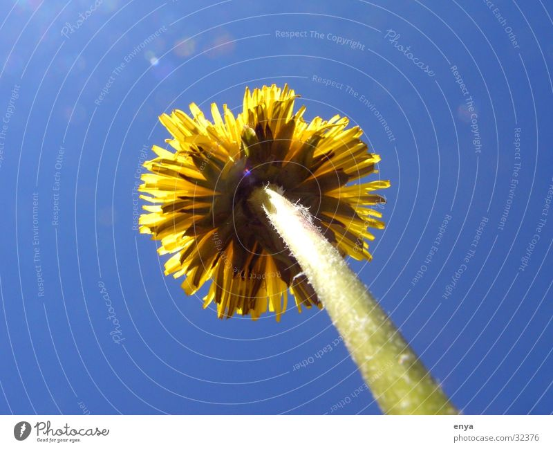 dandelion Dandelion Flower Meadow Blossom Yellow Plant Garden Sun root perspective Tree trunk Macro (Extreme close-up) Detail